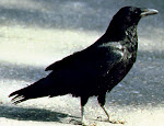 Corvus Corax