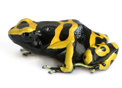 poisonous dart frog, poison frog, poisonous frog, wild frog, colorful frog, dartfrog, poison arrow frog, blue frog, animal love, in love of animal, animal news animals in news, endangered animals, dangerous animals in wild, information about animals