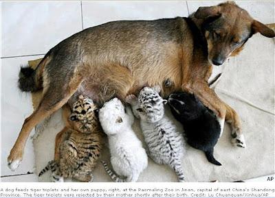 the surrogate dog Huani dog news have created a sensation across the web. Surrogate animal news or surrogate news is potrayed with this animal picture