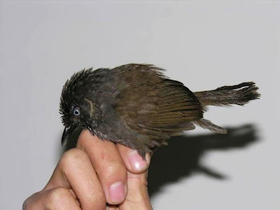 ScienceDaily Nonggang Babbler discovered exciting discovery news of discovery amazing discoveries rare bird rare bird species