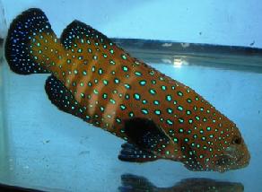 blue-spotted grouper, marine fish, marine aquarium fish