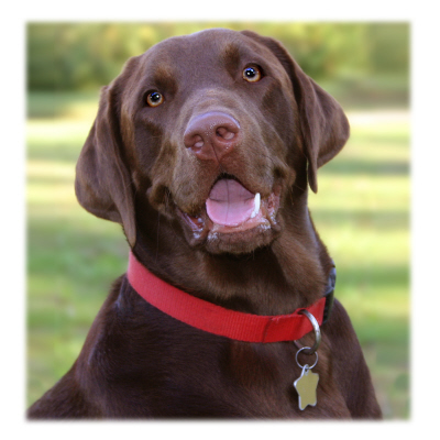 Labrador Retrievers, Labrador dogs, an ideal dog, Labrador Retriever