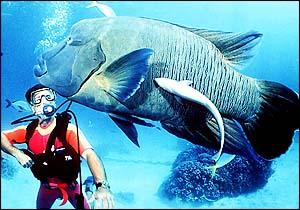 sex change in fish, Blue Groper