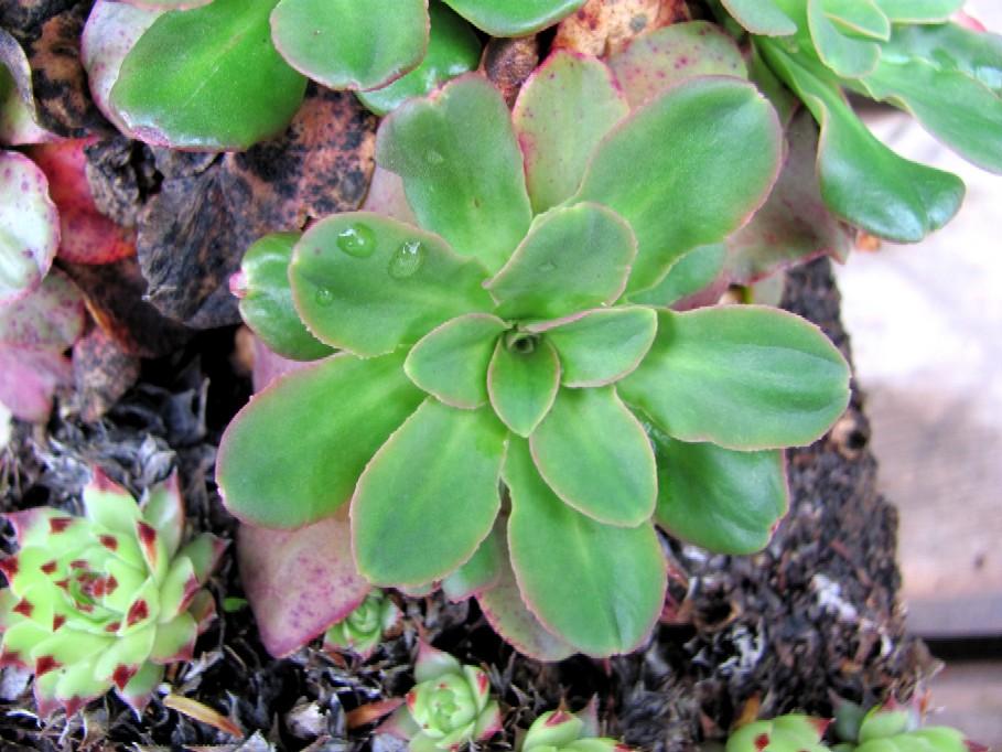 Gartenarbeit ideen hauswurz deko f r sommer und winter im mai und juni pflanzen - Hauswurz dekorieren ...