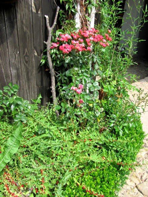 garten anders rosen vermehren f r laien wie vermehre ich meine lieblingsrose. Black Bedroom Furniture Sets. Home Design Ideas