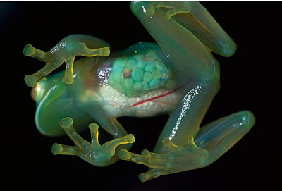Transparent Frog