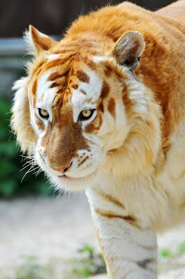 Golden hair tiger