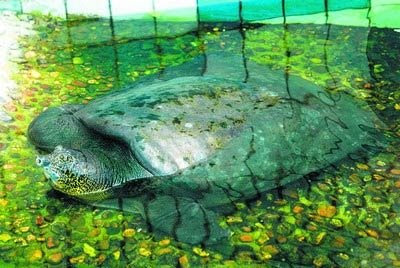 Yangtze Giant Soft-shell Turtle,