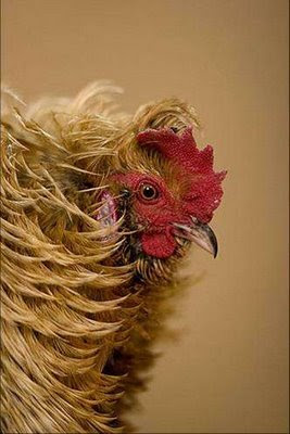 real or fake hen