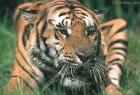Woman Face On Tiger Illusion