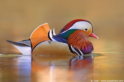 Beautiful Mandarin Duck picture
