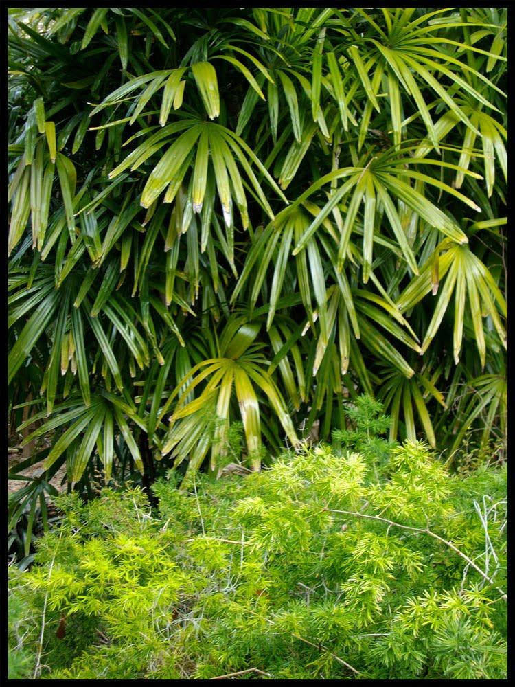 Plant Profile   Lady Palm, Rhapis Excelsa