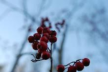 Vinterkledd rognebær