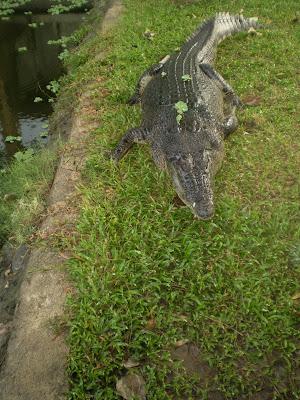 Quão grande pode ser? - Crocodilianos gigantes PA290191