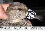 Marcaxe Nasal de Anátidas
