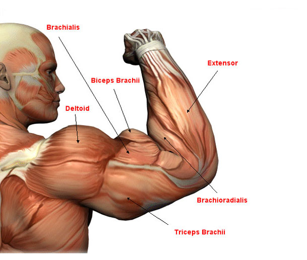 Biceps and triceps, muscle building workouts plan