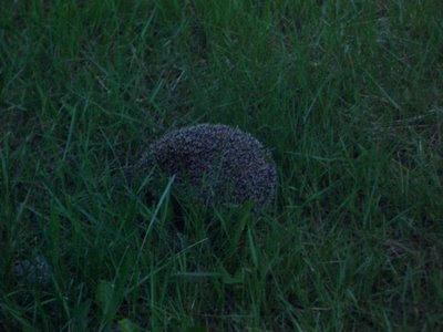 Ivar the hedgehog, Ivar l'herisson