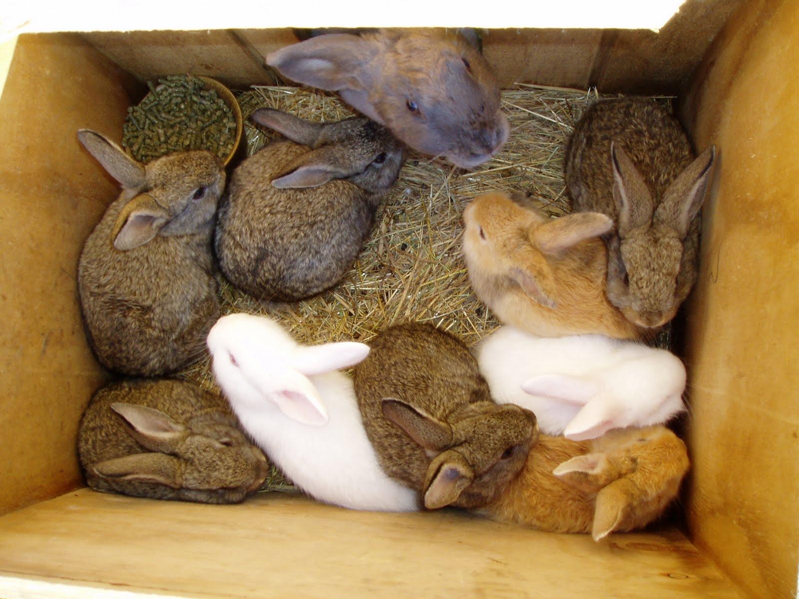 Искусственное кормление новорождённых крольчат. Кролики 31