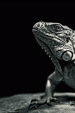 Iguana en Blanco y Negro - Para I-Phone | Fondos y Fonditos: fondosyfonditos.com.ar/2010/04/iguana-en-blanco-y-negro-para-i...