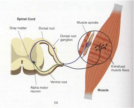 Neurolandia: Sistema Propioceptivo