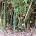 Bamboo Right in Front of Me