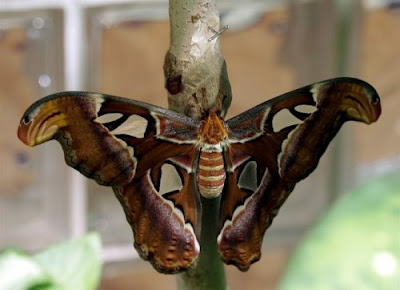 Beautiful Giant Butterfly  Seen On www.coolpicturegallery.us
