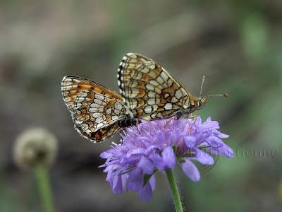 couple de papillon Damier de l'alchémille