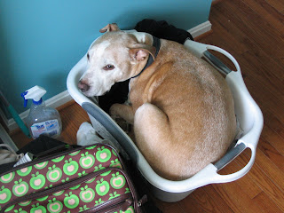 Buddy in the laundry basket