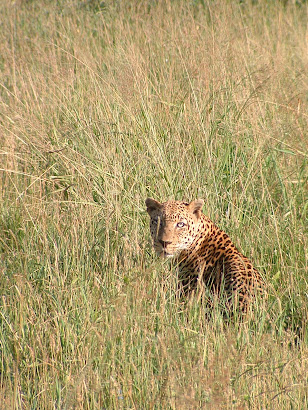 Leopard, Tsavo National Park, Kenya, 2005