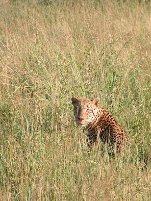 Leopard, Tsavo National Park, Kenya, 2005