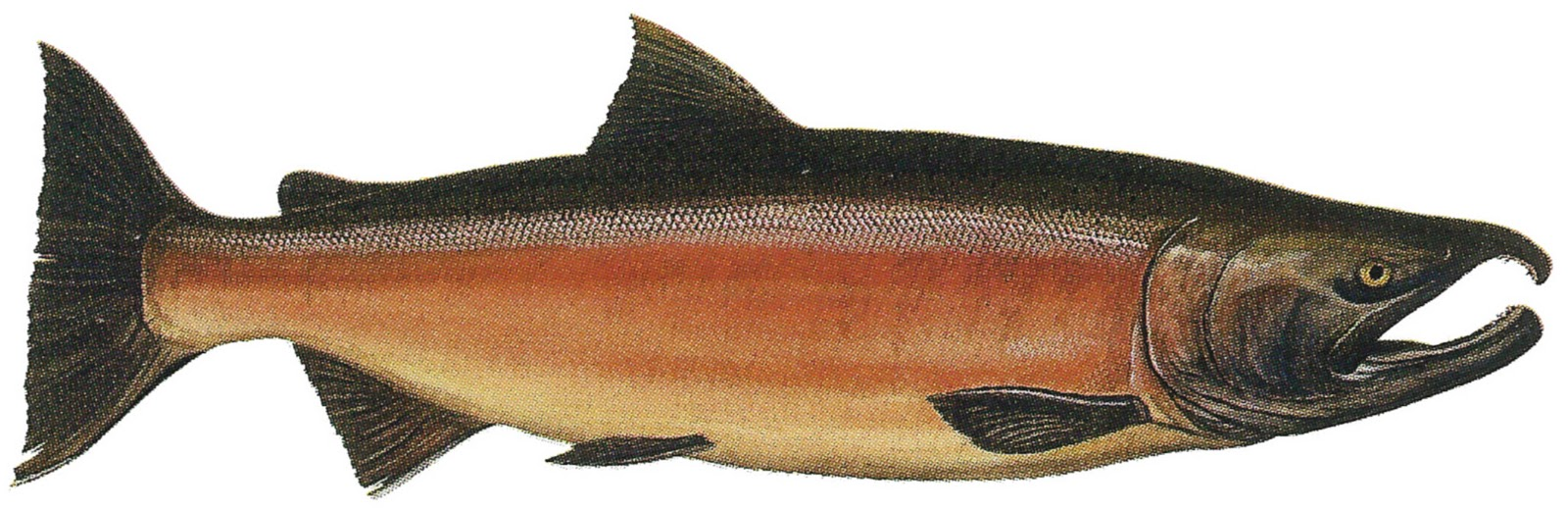 Fish coho salmon for Salmon fish pictures