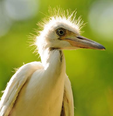 Baby blue heron bird - photo#9