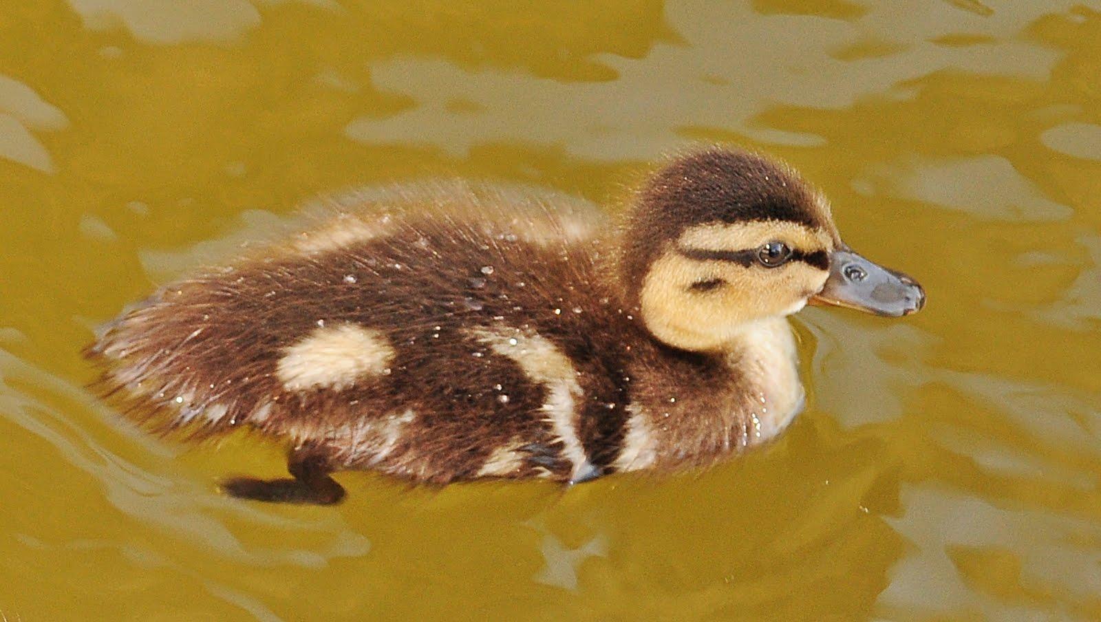 Dina\'s City Wildlife Adventures: Baby ducks under my dock