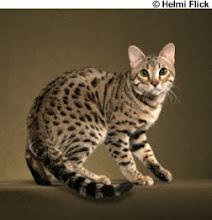 bengal-cat-ravi-1.jpg Wallpaper Desktop HD