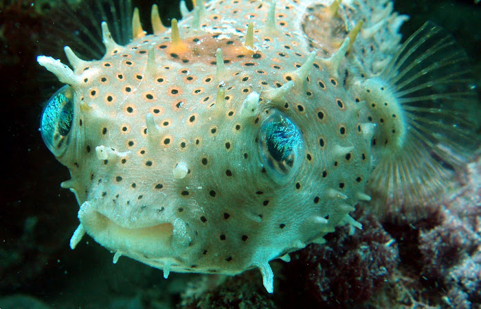 Burrfish
