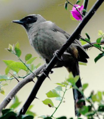 melodious animals of masked laughing thrush images