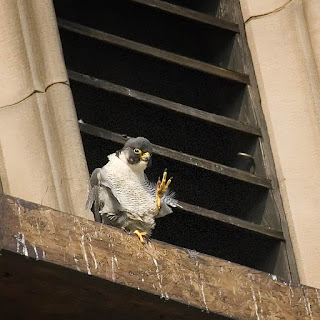 Adult male peregrine. Note the small beauty spot on his right cheek. Photo: G Whitmore