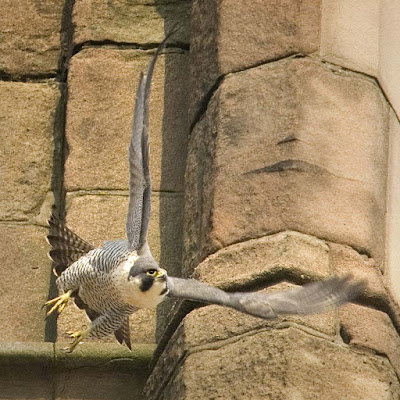 Cathedral Peregrine. Photo of an adult female at derby cathedral by G. Whitmore.