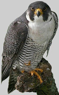 Peregrine image from the top of Froona's blog. Photographer unknown, possibly C.Saladin