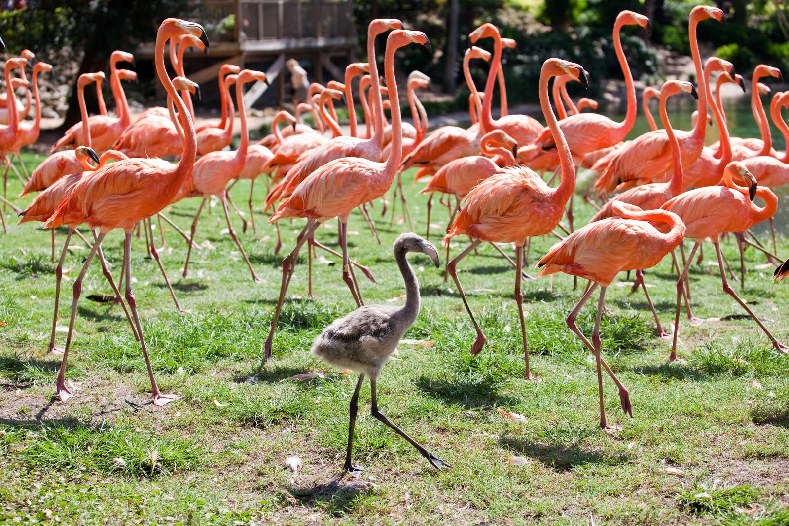 Tpa Quick Take Baby Flamingos Hatched At Busch Gardens