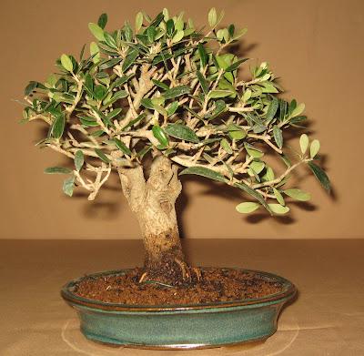 bonsai das sch nste hobby der welt oliven bonsai. Black Bedroom Furniture Sets. Home Design Ideas
