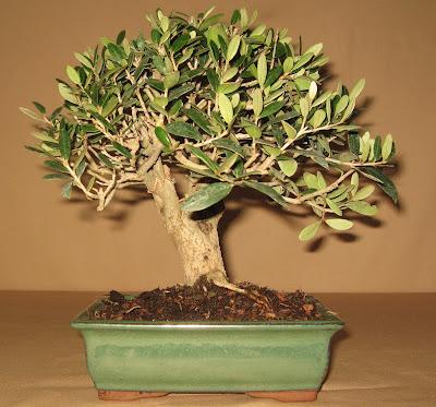bonsai das sch nste hobby der welt oliven bonsai schritt f r schritt. Black Bedroom Furniture Sets. Home Design Ideas