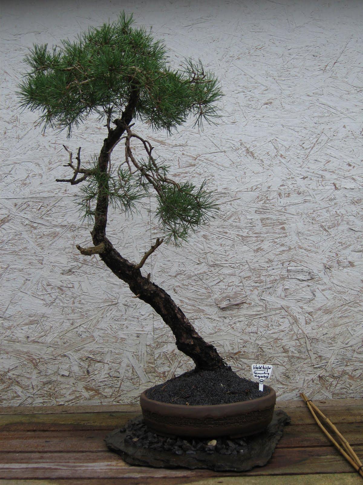 bonsai das sch nste hobby der welt bonsaiausstellung der. Black Bedroom Furniture Sets. Home Design Ideas