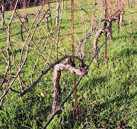 These gnarly Chardonnay vines have been retrained in a different direction using a 3 wire trellis