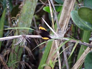 Mariposa descansando. Chontabamba