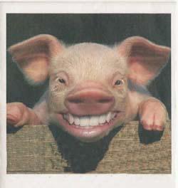 Esse é o porco bovino nossa mascote
