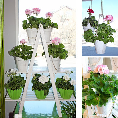 pelargoner, blomstege, träkrukor