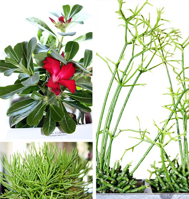 Ökenros Adenium Obesum, Rhipsalis, Senecio Himalaya