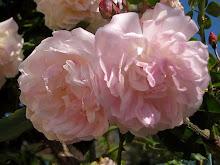 Ljuva rosor i Callian