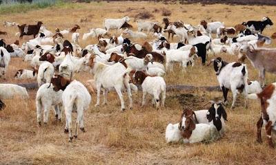 cabras en google